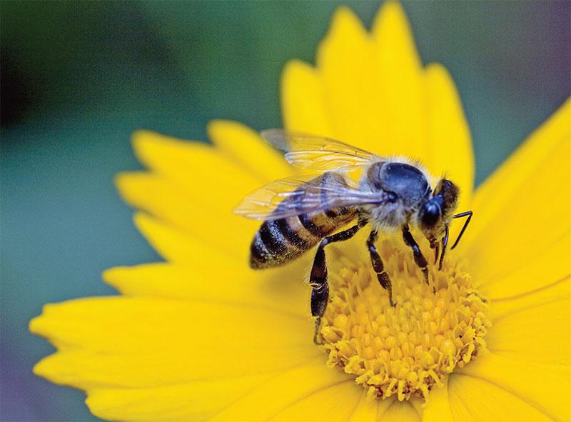 bee-on-yellow-lrg