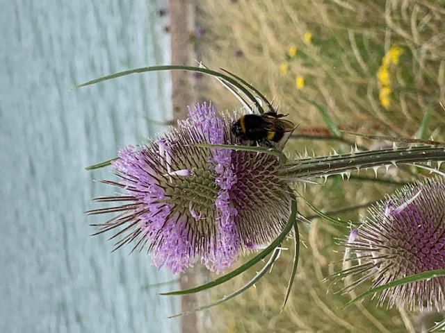 Bee on the cecile